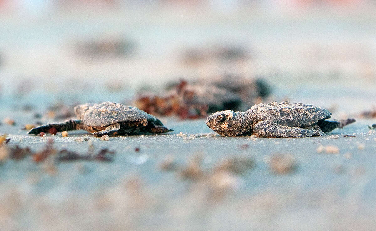 Kemp's ridley sea turtle hatchlings head for the Gulf of Mexico at the Padre Island National Seashore in Corpus Christi. (Undated file photo)
