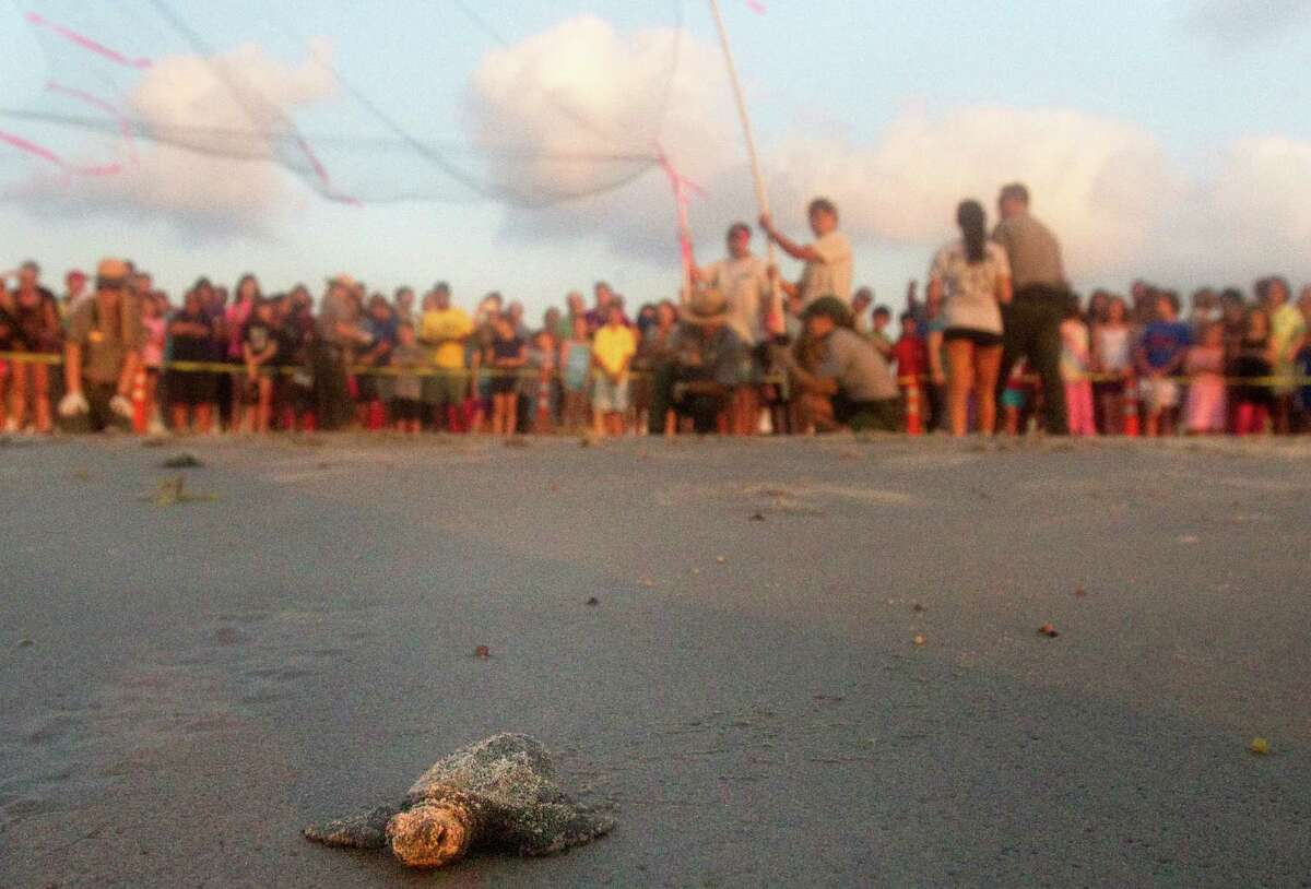 A crowd watches as a Kemp's ridley sea turtle hatchling makes its way for the Gulf of Mexico after it was released at the Padre Island National Seashore's Malaquite Visitor Center in June.