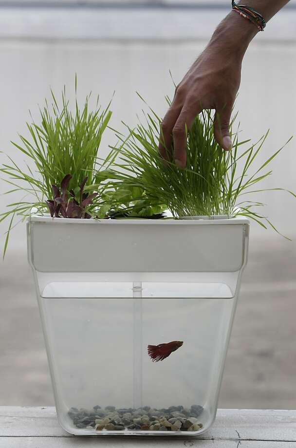 Nikhil Arora, co-founder of Back to the Roots, tends to wheatgrass growing atop one of the AquaFarm home aquaponics tanks at the company's Oakland headquarters. Photo: Paul Chinn, The Chronicle