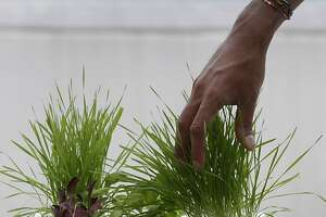 Nikhil Arora, co-founder of Back to the Roots, tends to wheat grass growing above a fish swimming in the Aqua Farm, at the start-up's office in Oakland, Calif. on Thursday, Aug. 8, 2013. Arora and his friend from college, Alejandro Velez, created the Aqua Farm as well as a grow-it-at-home mushroom kit.