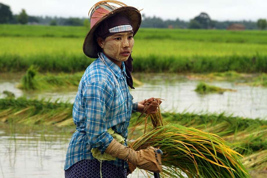Planting season:A Myanmar farmer plants rice seedlings at a paddy field in Dala township 