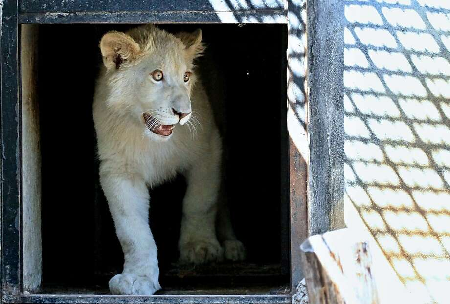 Hark, the herald:The Bohemian Lion, a white lion on red ground, is the heraldic 