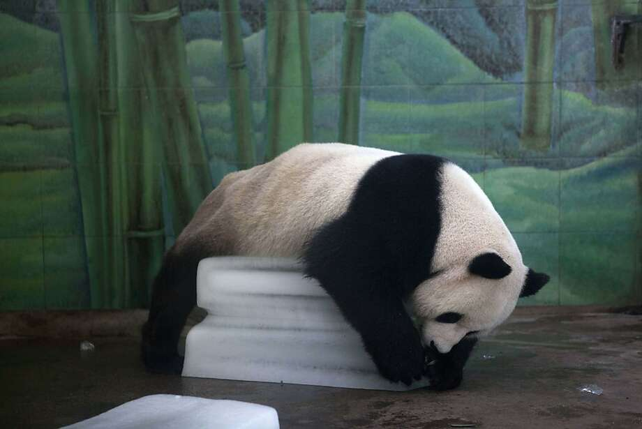 Panda on the rocks: The Wuhan Zoo doesn't have air-conditioning, but it does have very 