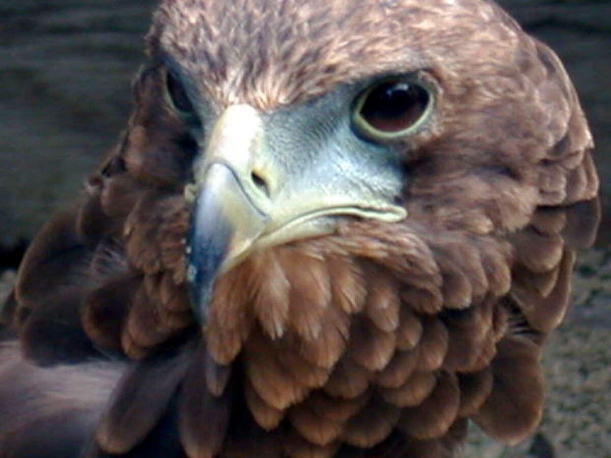 Learn to identify hawks with the Houston Audubon.