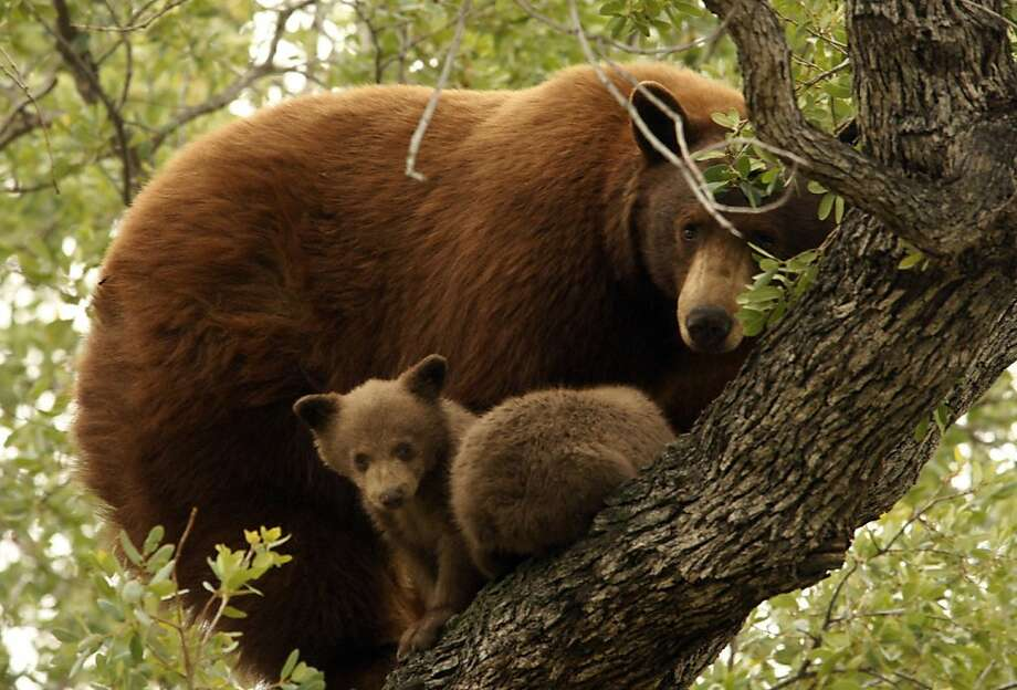 A mother bear and cubs hang out high in a tree in the woodlands of Altadena, Los Angeles County. Photo: Genaro Molina, McClatchy-Tribune News Service