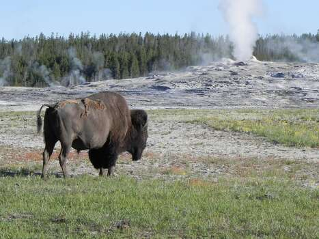 This was an American Bison at Old Faithful.  He was taking a stroll early in the morning near the geyser.  My husband and I with our daughter and grand-daughter toured Yellowstone, Wyoming and South Dakota in June, 2013.  It was wonderful seeing how beautiful our country really is.