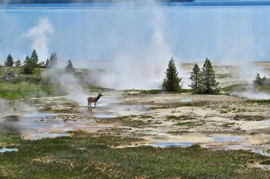 This is a picture of a male elk surrounded by thermal features in Yellowstone National Park - taken in June 2013.  The scene was truly surreal.