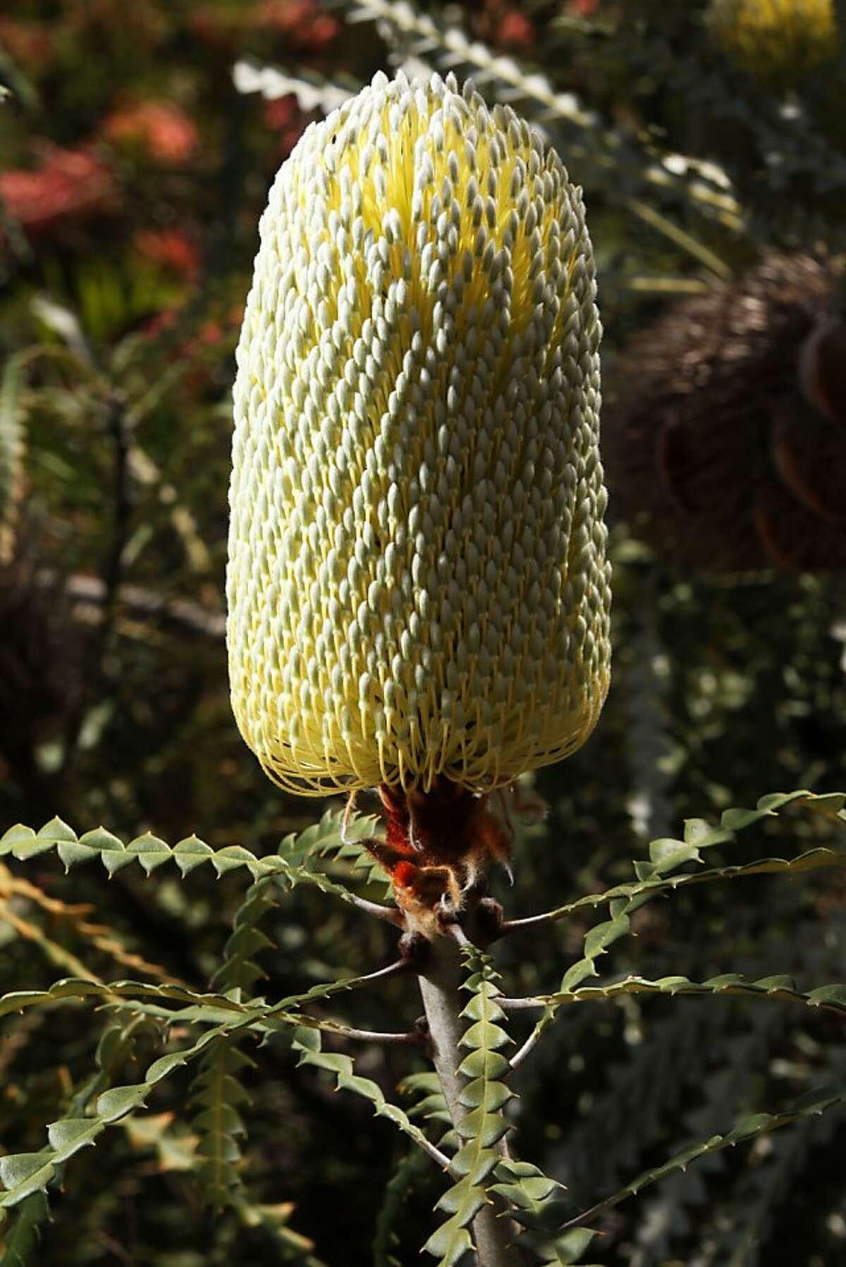 A flowering Banksia speciosa plants blooms in the South African garden at UC Santa Cruz Arboretum, Tuesday, May 14, 2013 in Santa Cruz, Calif.