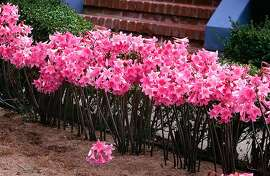 If you want to dig naked lady bulbs in order to plant them elsewhere, do it in late summer right after the blooms fade.