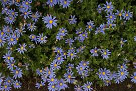 Felicia amelloides. Nicknamed blue daisy for its lovely 1  inch, deep-blue flowers, this citizen of South Africa forms a sturdy 12- to 24-inch tall sub-shrub that can spread almost twice as wide.