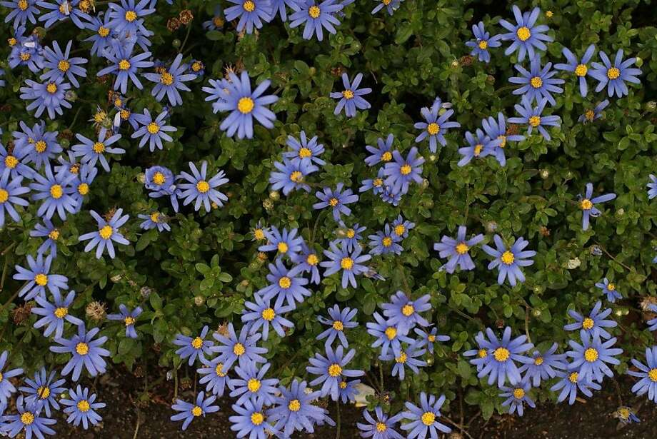 Nicknamed blue daisy for its lovely 1 1/2-inch, deep-blue flowers, this citizen of South Africa - Felicia amelloides - forms a sturdy 12- to 24-inch-tall sub-shrub that can spread almost twice as wide. Photo: Joanne Taylor, Courtesy Of SF Botanical Garden