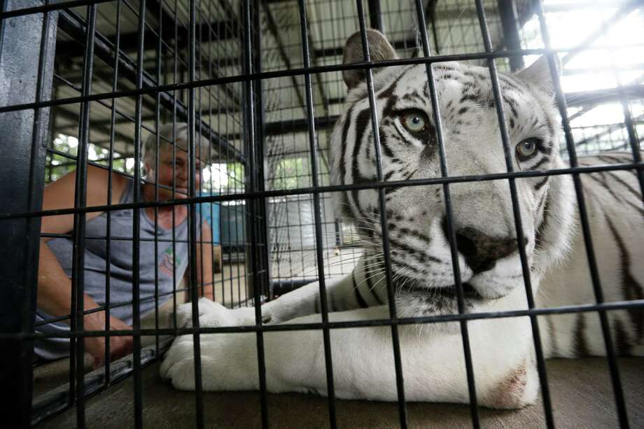 Kazuri, shown in its cage last month at the at In-Sync Exotics Wildlife Rescue and Education Center in Wylie, died of canine distemper Sunday. Photo: LM Otero, STF / AP