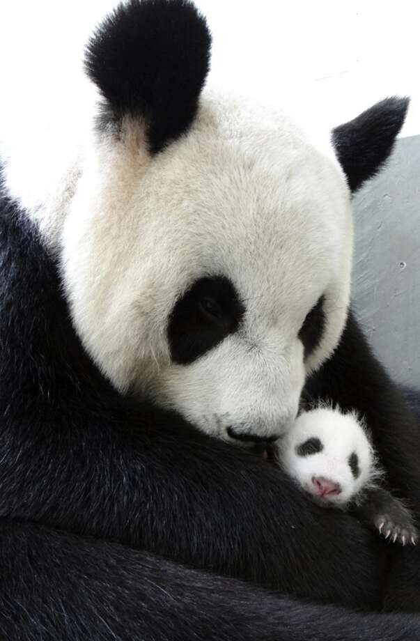 """In this photo taken  Aug. 9, 2013, and released by the Taipei Zoo Tuesday,  female giant panda named """"Yuan Yuan,"""" one of a pair presented by China  four years ago to mark warming ties with Taiwan, holds her female cub at  the Taipei Zoo in Taipei, Taiwan. The 9-year-old """"Yuan Yuan"""" delivered  the cub on July 6 following artificial insemination given in March. (AP  Photo/Taipei Zoo)"""