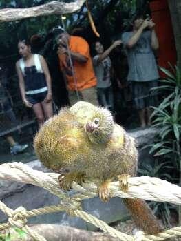 A baby pygmy marmoset born July 27 at the Houston Zoo. Photo: Houston Zoo