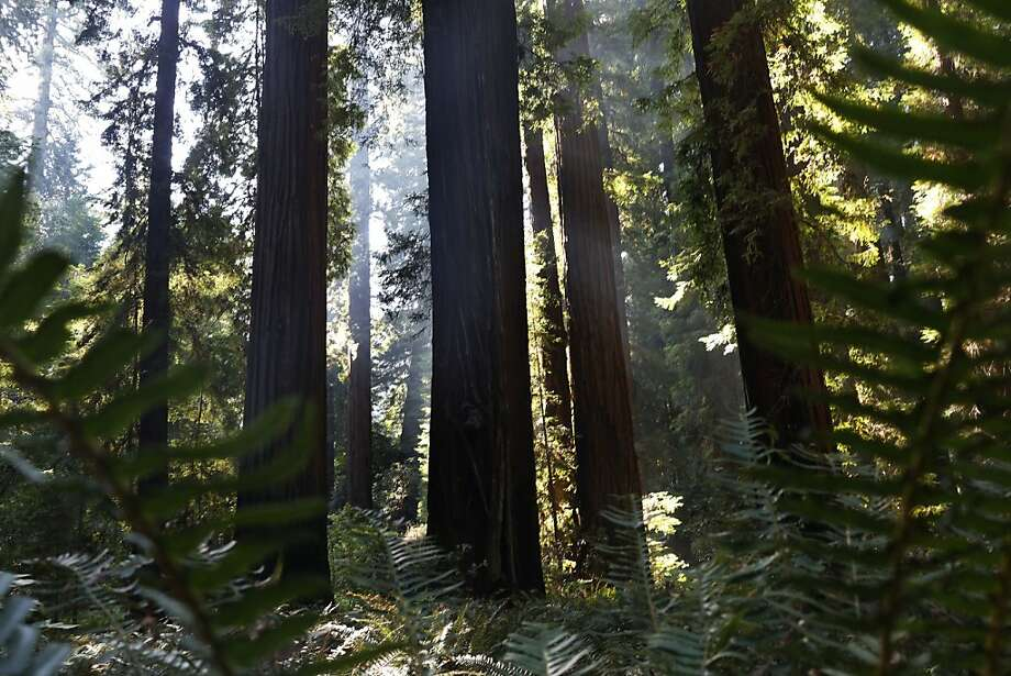 Redwood growth in Richardson Grove State Park in Humboldt County and elsewhere has accelerated. Photo: Ian C. Bates, The Chronicle