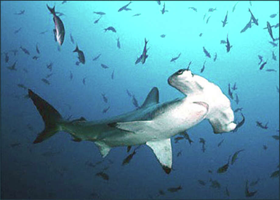 Found in tropical and warm temperate waters worldwide, the scalloped hammerhead (Sphyrna lewini) typically reaches 10 feet long, but may grow to a maximum size of about 14 feet. Photo: MBR / KRT
