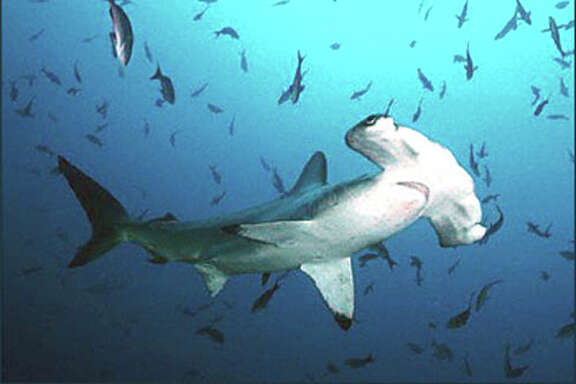 A scalloped hammerhead shark typically reaches 10 feet in length. But only its fins are needed for shark fin soup.