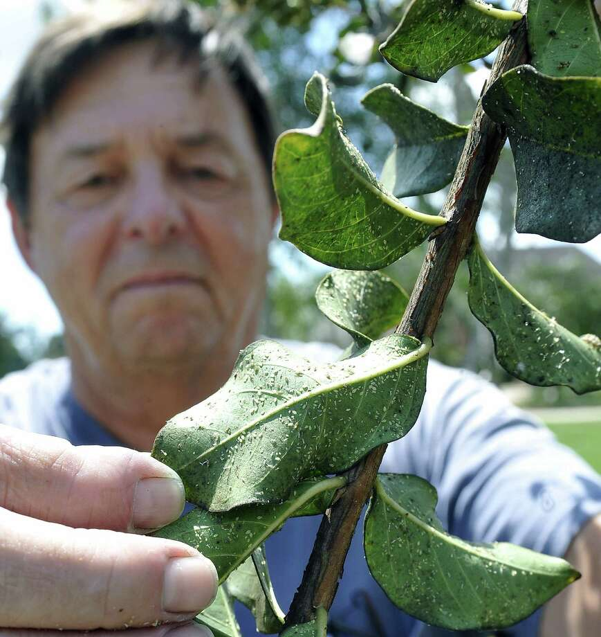 Gary Outenreath, director of horticulture at the Beaumont Botanical Gardens, holds up the under side of a crepe myrtle leaf covered in aphids.