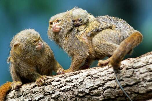 A, yet to be named, baby pygmy marmoset clings to the back of a sibling Tuesday, Aug. 13, at the Houston Zoo.  Photo: Brett Coomer, Houston Chronicle / © 2013 Houston Chronicle