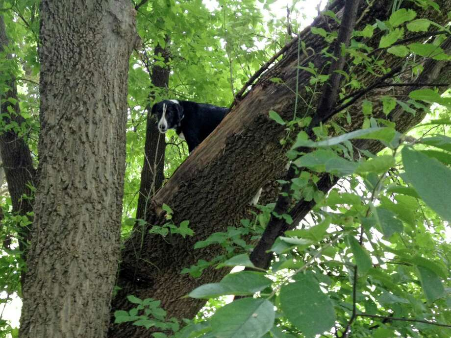 Ron Stevenson found Laddy, a 7-year-old border collie, in distress up in an oak tree in Davenport, Iowa. The dog was missing for a few days from his home two blocks away. Photo: Ron Stevenson / Associated Press