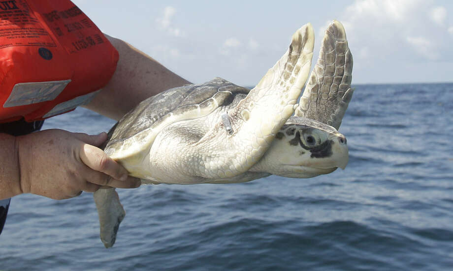 Suspected causes of the decline in the number of nests include the BP oil spill and commercial fishing practices. Photo: File Photo, Houston Chronicle