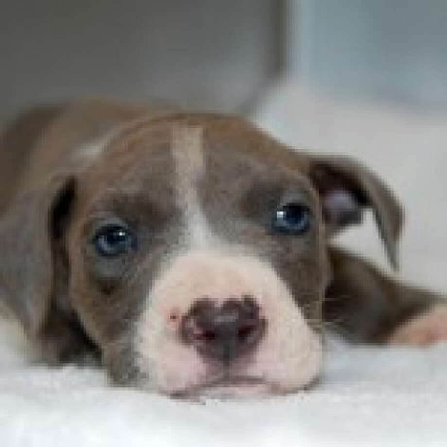 Hudson, a now six-week-old pit bull puppy abadoned three weeks ago in Albany. (Photo courtesy of Brad Shear)