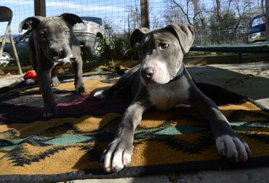 Pit bull puppies, Pearl, left and her brother Hudson, relax after Hudson received his new prosthetic paw at the Hudson Mohawk River Humane Society headquarters Nov. 12, 2012, in Menands, N.Y. (Skip Dickstein/Times Union)