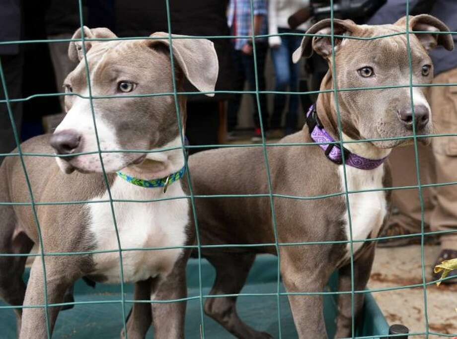 Hudson, left, and and Pearl, right, the pit bull puppies found injured by train tracks, at the Mohawk Hudson Humane Society to meet their new adopted families in Menands Wednesday Dec. 5, 2012. (John Carl D'Annibale / Times Union)