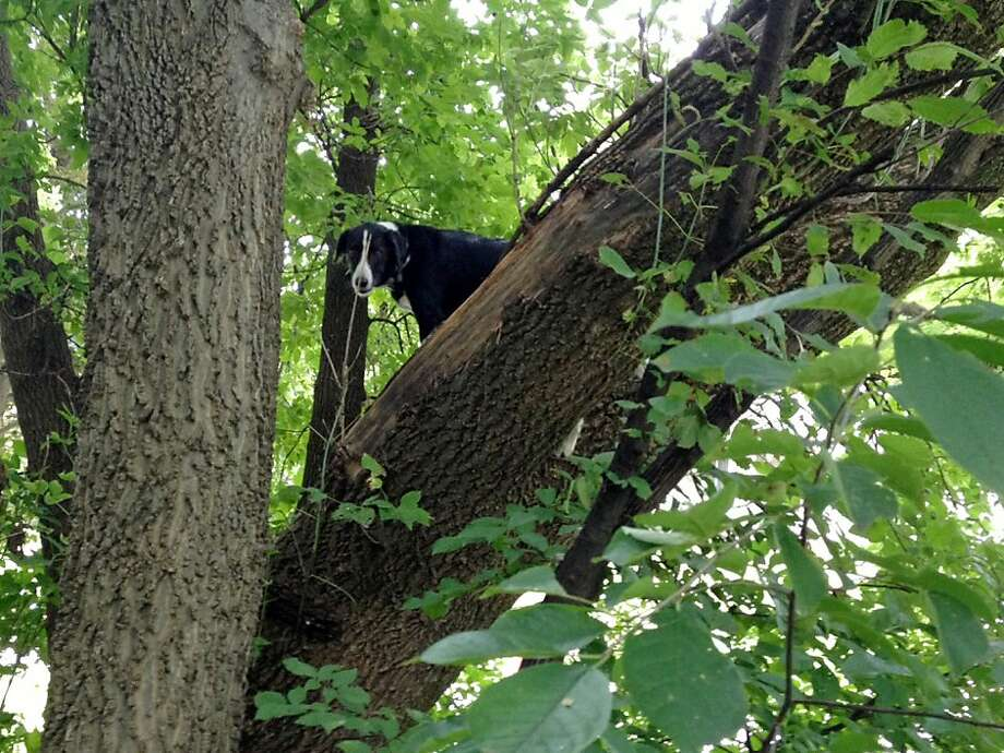 More of a birder collie:Laddy challenges the notion that border collies are among the most intelligent of dog breeds after being unable to get down from a tree he scampered up. His owner says the pooch apparently chased a squirrel up the tree after escaping the electrical fencing system at his home in Davenport, Iowa, due to a dead battery in his collar. Photo: Ron Stevenson, Associated Press