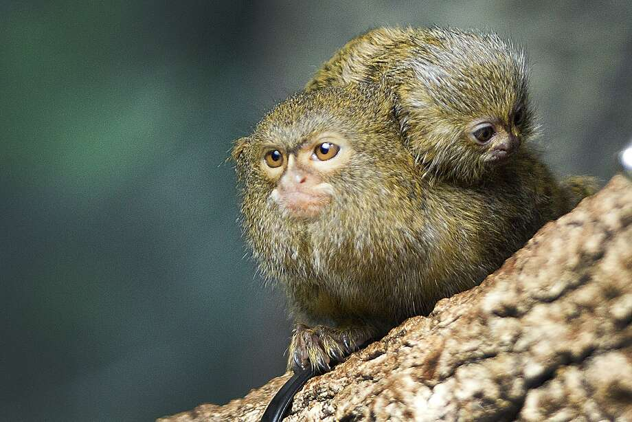 A baby pygmy marmoset clings to the back of a sibling in Houston. Photo: Brett Coomer, Houston Chronicle