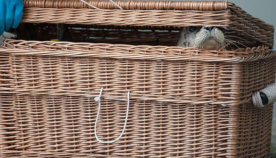 Whisker basket: A zookeeper packs a young seal for a beach trip at Seehundstation Norddeich, a rehab center for orphaned seal pups on the North Sea German coast. This youngster is about to be returned to the wild. Photo: David Hecker, Getty Images