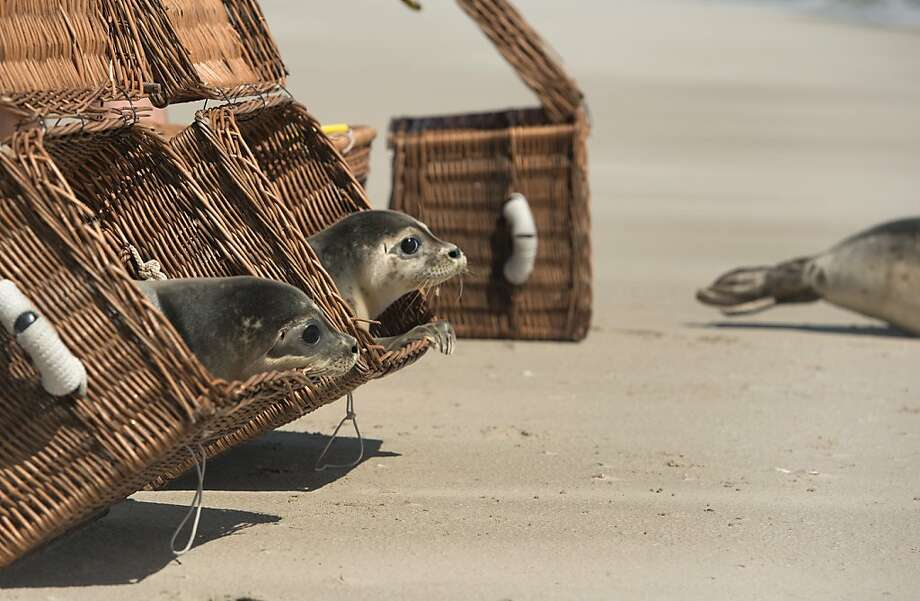 Out you go:Young seals, now strong enough to fend for the themselves, crawl out of their baskets and into the surf on a beach in the Islands of Juist near Norddeich, Germany. The pups were raised at a rehab center for about a year. They would have likely not survived had they not been rescued. Photo: David Hecker, Getty Images