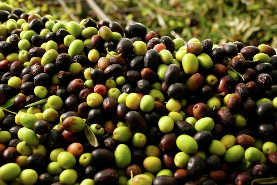 Olive about to be pressed at The Olive Press as seen in Sonoma, California, on Thursday, December 20, 2012. Photo: Craig Lee / Special To The Chronicle / Craig Lee