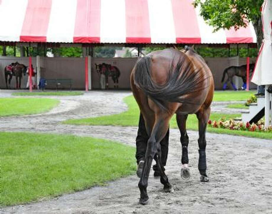 Young thoroughbred takes in some light training around the Saratoga paddock. (George Zilberman)