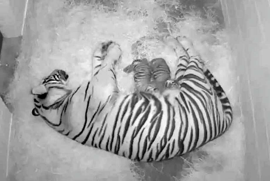 The Smithsonian National Zoo also has a pair Sumatran tiger cubs, born Aug. 5 to tigress Damai. Precautions are being taken there, too. Photo: Smithsonian National Zoo Photo