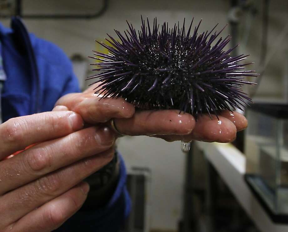 Sea urchins are causing trouble on the shallow seafloor off the Palos Verdes Peninsula, devouring kelp and crowding out most all other life. Photo: Paul Chinn, The Chronicle