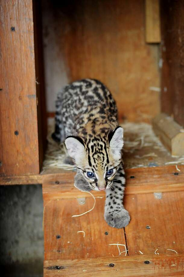 Ocelot's been a box a lot: This is Lindy's first time venturing out of her nesting crate. 
