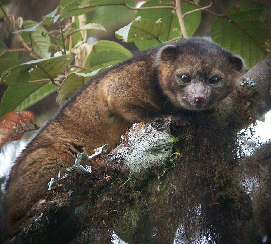New species may challenge koalas for 'most cuddly' title: Hidden away in the cloud forests of Colombia, this creature is the first new carnivore to be discovered in the Western Hemisphere in 35 years. The existence of the olinguito, a raccoon relative described as half-cat, half-teddy bear, has been hinted at for years. But now scientists at the Smithsonian Institute have confirmed the tree-dwelling mammal as a new species. Photo: National News, McClatchy-Tribune News Service