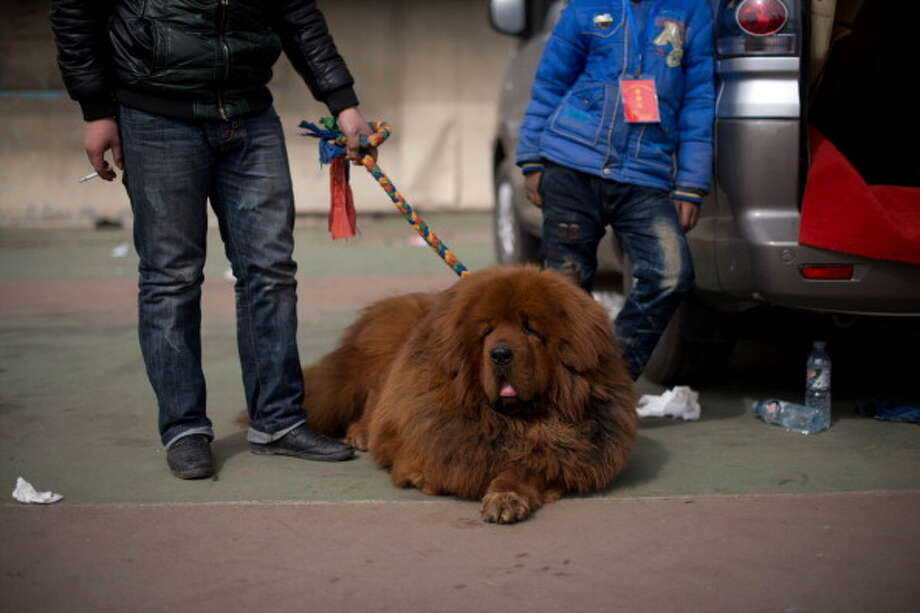 A Tibetan mastiff dog is displayed at a show in Baoding, Hebei province on March 9, 2013. Fetching prices up to around $750,000, mastiffs have become a prized status-symbol amongst China's wealthy. Photo: ED JONES, AFP/Getty Images / 2013 AFP