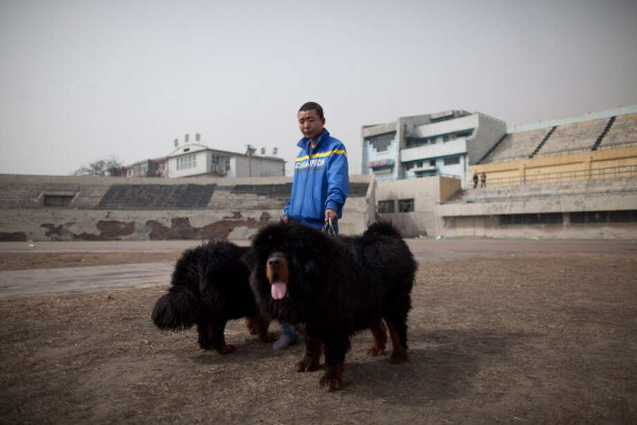 A man walks his Tibetan mastiff dogs at a mastiff show in Baoding, Hebei province, south of Beijing on March 9, 2013. Fetching prices up to around $750,000, mastiffs have become a prized status-symbol amongst China's wealthy. Photo: ED JONES, AFP/Getty Images / 2013 AFP