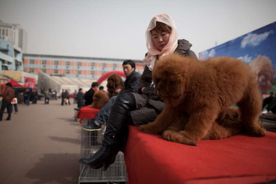 A woman sits with a Tibetan mastiff dog displayed for sale at a mastiff show in Baoding, Hebei province, south of Beijing on March 9, 2013. Breeders still travel to the Himalayan plateau to collect young puppies, although many are unable to adjust to the low altitudes and die during the journey. Photo: ED JONES, AFP/Getty Images / 2013 AFP