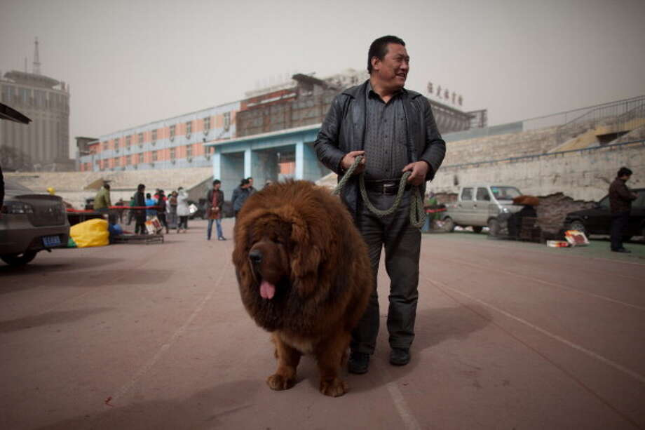 A Tibetan mastiff dog is displayed at a mastiff show in Baoding, Hebei province, south of Beijing on March 9, 2013. Fetching prices up to around $750,000, mastiffs have become a prized status-symbol amongst China's wealthy. Photo: ED JONES, AFP/Getty Images / 2013 AFP