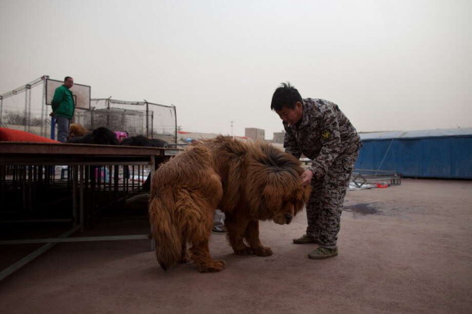 A man grooms a Tibetan mastiff dog at a show in Baoding, Hebei province, south of Beijing on March 9, 2013. Fetching prices up to around $750,000, mastiffs have become a prized status-symbol amongst China's wealthy. Photo: ED JONES, AFP/Getty Images / 2013 AFP