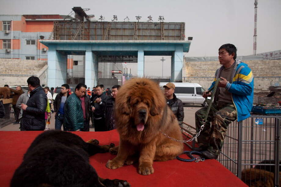 Atendees gather at a stage where Tibetan mastiff dogs are displayed for sale at a mastiff show in Baoding, Hebei province, south of Beijing on March 9, 2013. Fetching prices around 750,000 USD, mastiffs have become a prized status-symbol amongst China's wealthy, with rich buyers across the country sending prices skyrocketing. Owners say the mastiffs, descendents of dogs used for hunting by nomadic tribes in central Asia and Tibet are fiercely loyal and protective. Breeders still travel to the Himalayan plateau to collect young puppies, although many are unable to adjust to the low altitudes and die during the journey. AFP PHOTO / Ed Jones        (Photo credit should read Ed Jones/AFP/Getty Images) Photo: ED JONES, AFP/Getty Images / 2013 AFP