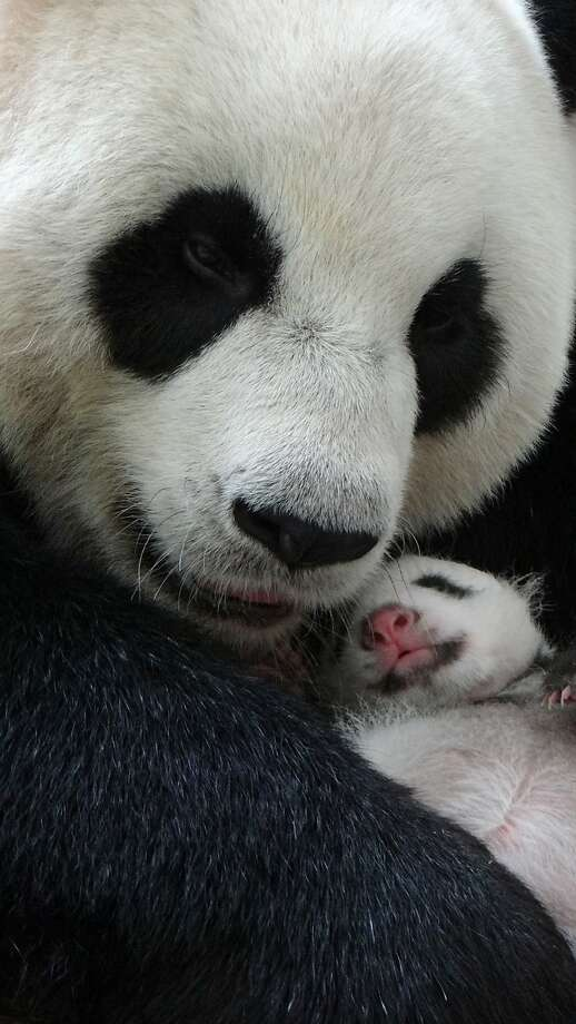 Separated at birth, but back together: Yuan Yuan, the giant panda who was recently reunited with her baby, Yuan Zai, cuddles the infant in her den at the Taipei City Zoo. The newborn stayed overnight for the first time with her doting mother following their heartwarming reunion this week. Photo: Taipei City Zoo, AFP/Getty Images