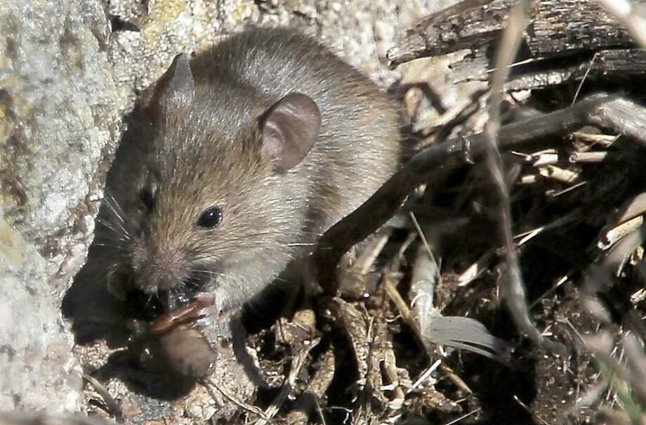 A house mouse - one of way too many - eats a spider on South Farallon Island. Photo: Michael Macor, The Chronicle