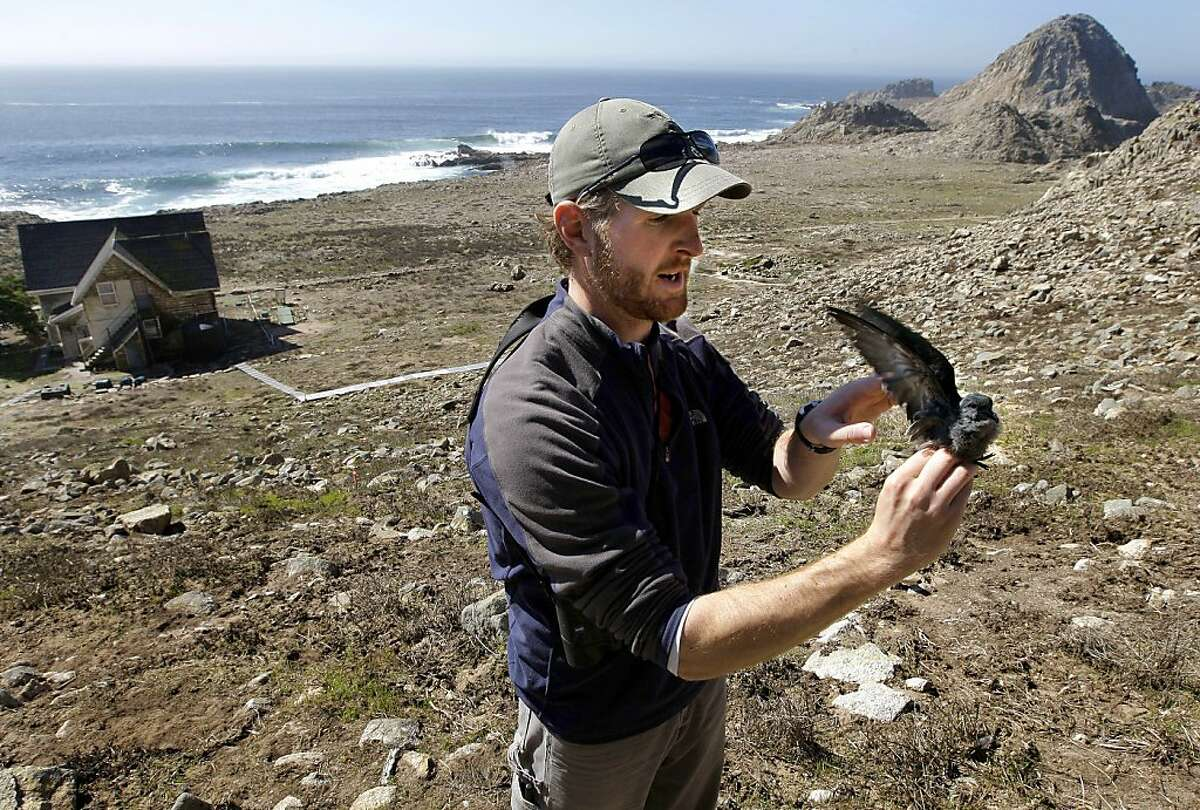 Farallon biologist, Pete Warzybok, holds a Ashy Storm-Petrel chick, which is nesting along the cliffs of south East Farallon Island off the coast of San Francisco, Ca., on Wednesday October 12, 2011. When the mouse population dwindles on the island, BurroFarallon biologist, Pete Warzybok, holds a Ashy Storm-Petrel chick, which is nesting along the cliffs of south East Farallon Island off the coast of San Francisco, Ca., on Wednesday October 12, 2011. When the mouse population dwindles on the island, Burrowing owls turn to the Ashey Storm-Petrel for it's food supply. Efforts to control the non-native house mice problem in the Farallon Islands have failed. Officials say the mouse population has grown so large that they have altered the ecology of the island.