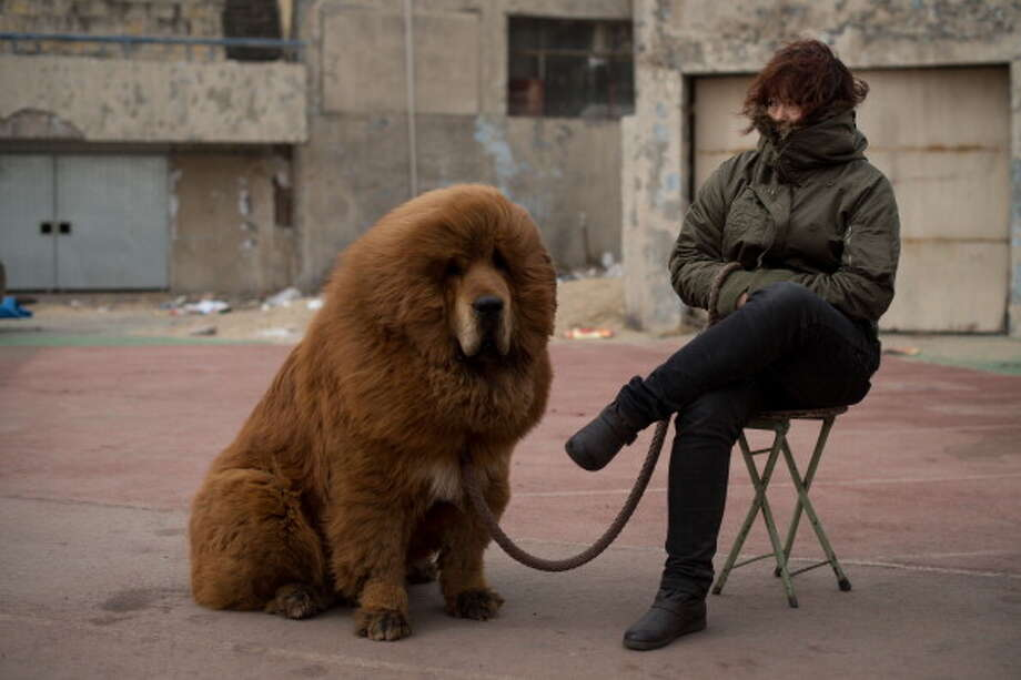 A Tibetan mastiff dog is displayed for sale at a mastiff show in Baoding, Hebei province, south of Beijing on March 9, 2013. Owners say the mastiffs, descendants of dogs used for hunting by nomadic tribes in central Asia and Tibet are fiercely loyal and protective. Photo: ED JONES, AFP/Getty Images / 2013 AFP