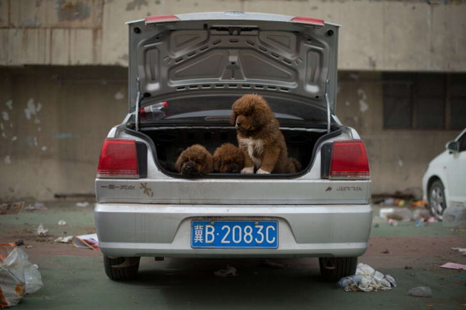 Tibetan mastiff puppies are displayed for sale at a mastiff show in Baoding, Hebei province, south of Beijing on March 9, 2013. Fetching prices up to around $750,000, mastiffs have become a prized status-symbol amongst China's wealthy. Photo: ED JONES, AFP/Getty Images / 2013 AFP