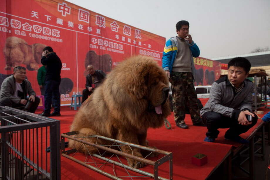 Vendors gather on a stage with their Tibetan mastiff dogs displayed for sale at a mastiff show in Baoding, Hebei province, south of Beijing on March 9, 2013. Fetching prices up to around $750,000, mastiffs have become a prized status-symbol amongst China's wealthy. Photo: ED JONES, AFP/Getty Images / 2013 AFP